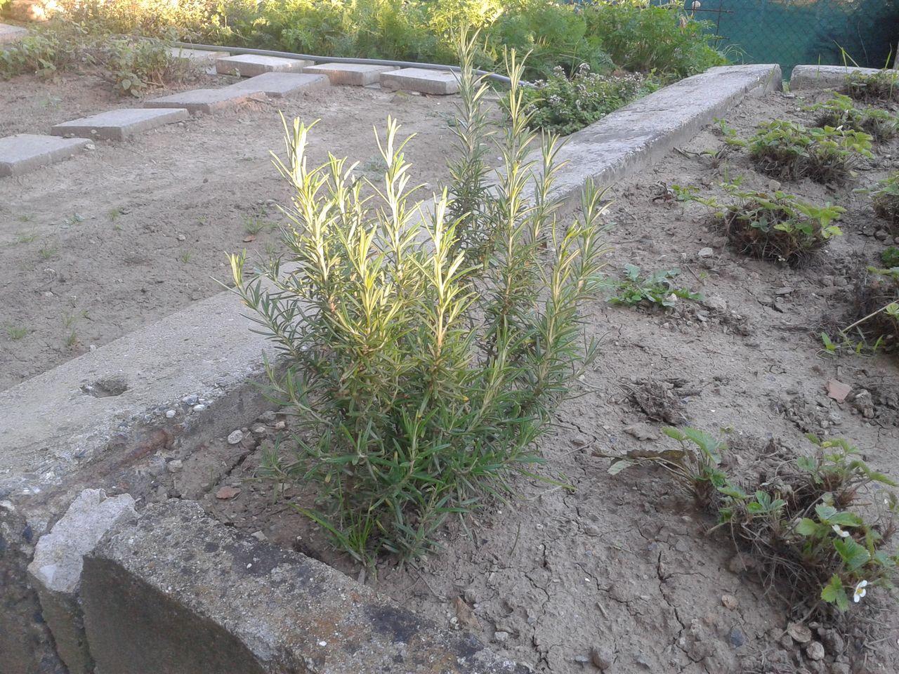 Nový přírůstek na zahradě - rozmarýna