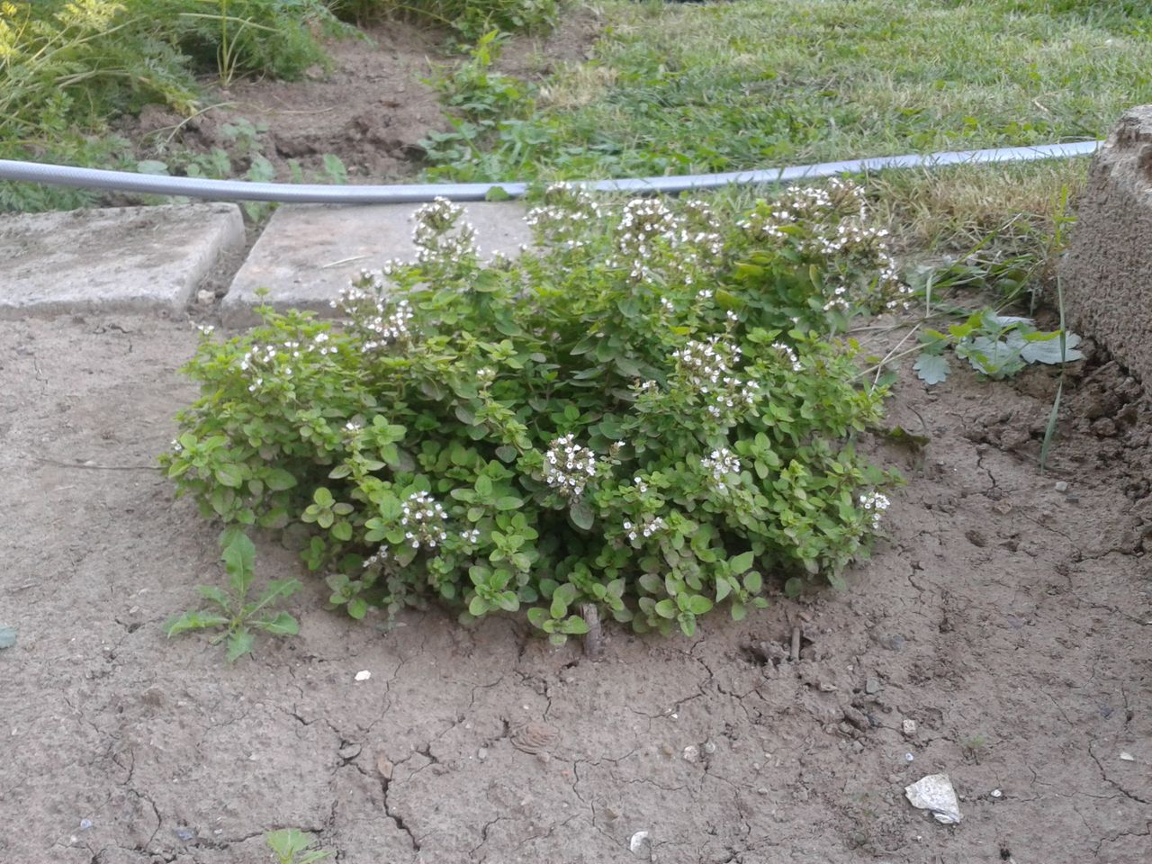 Nový přírůstek na zahradě - oregano